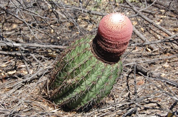Coroa-de-frade-cacto caatinga