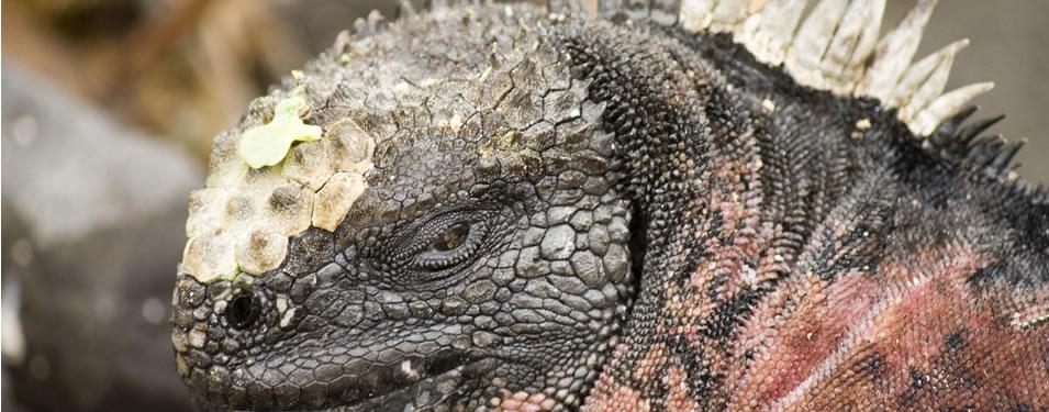 galap iguana
