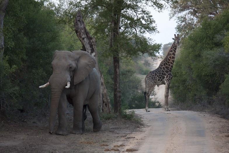 África do  - Elefante e Girafa